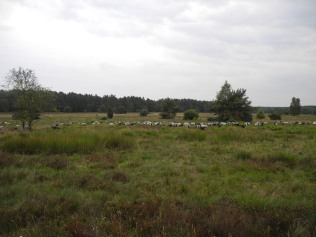 Lüneburger Herde, äh Heide.