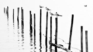Schwarz-Weiß. Mehrere Möwen, die auf einer Reihe von Pfählen sitzen, die im Wasser stecken.