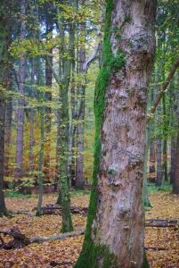Ein Baum im Wald, dessen eine Seite aus nackter Rinde besteht, links von grünem Moos bewachsen ist.